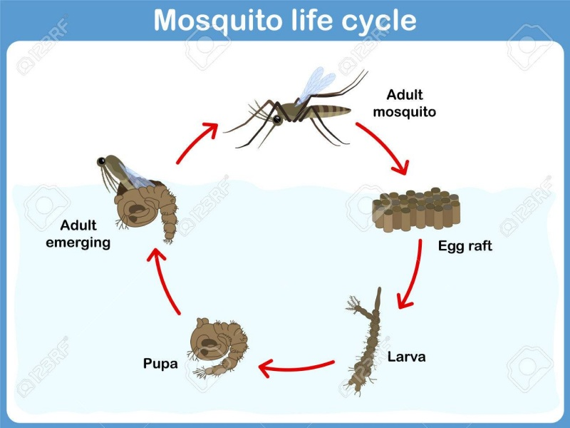 Vector cycle of mosquitoes