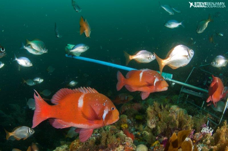 Collection of reef fish, typically found warm-temperate Agulhas Ecoregion, South Africa (pic: Steve Benjamin)