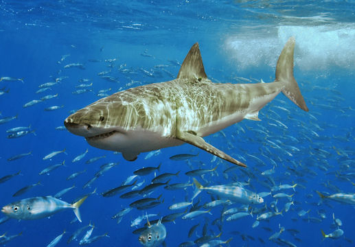Great White Shark (Carcharodon carcharias) (Pic: Terry Goss)