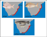 Recorded distributions of slinger, scotsman and catface rockcod (from Heemstra and Heemstra, 2004).